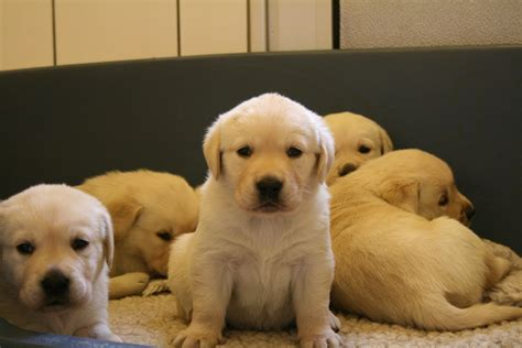 golden lab puppies puppy dogs yellow labrador retriever puppies