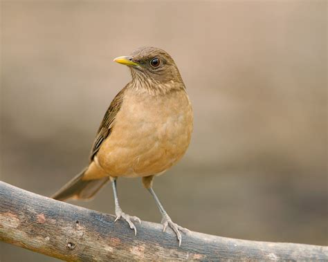 clay colored thrush clay colored thrush 2