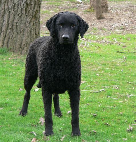 Curly-Coated Retriever - All Big Dog Breeds