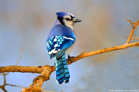 interesting facts about blue jays just fun facts