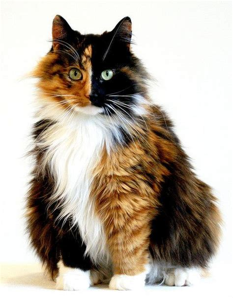 25 best ideas about calico cats on pinterest fluffy kittens cats and adorable kittens