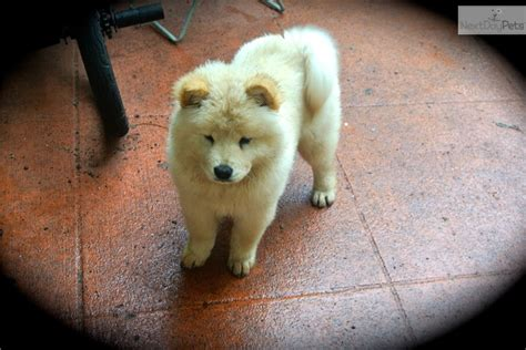 chow chow puppies for sale near me fawn akc chow chow puppy for sale near west palm florida 4b36bc42 b6c1