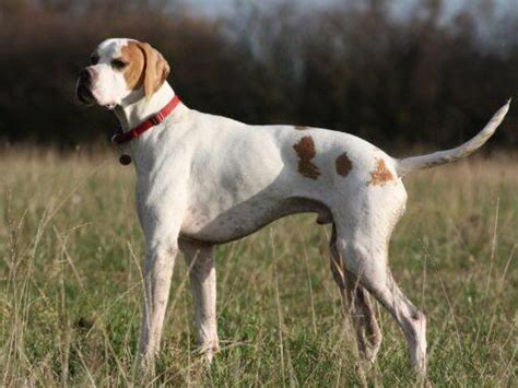 pointer puppy pointer