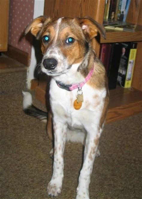 australian cattle border collie mix border heeler breed information and pictures