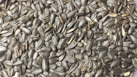 black sunflower seeds to horses black sunflower seed