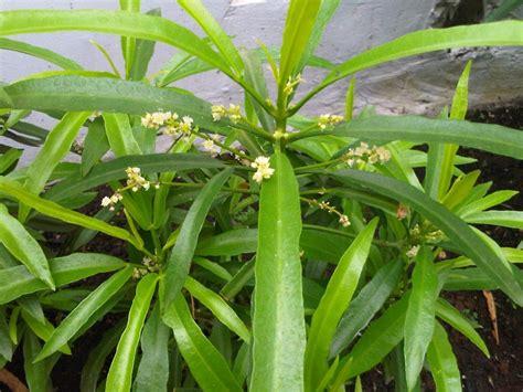 manfaat tanaman hias zodia bagi manusia
