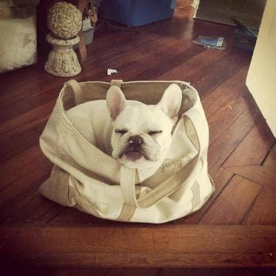 French Bulldog Giveaway - 17 best images about french bulldog stuff on pinterest boats sweet and animals