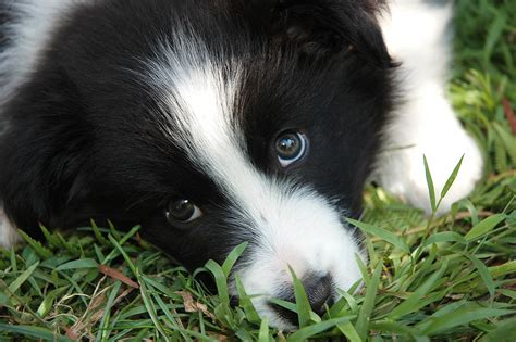 free border collie puppies border collie puppies 78 free hd wallpaper dogbreedswallpapers