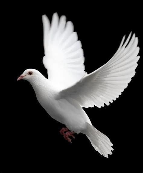 Sho Dove by Best 25 White Doves Ideas On Dove Bird Dove
