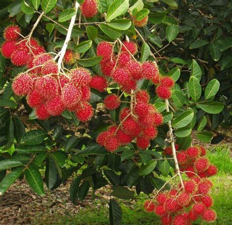 Bibit Pohon Rambutan tanaman rambutan binjai