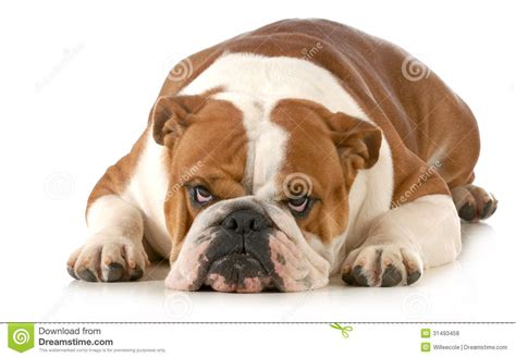mad puppy mad royalty free stock photos image 31493458
