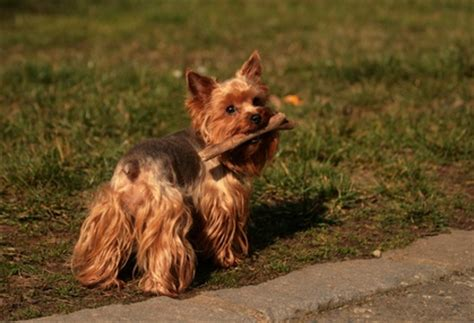 yorkie vaccinations yorkies vaccinations pets