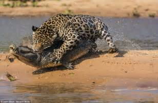 Jaguars In The Moment A Jaguar Stalks And Ambushes A Caiman Before