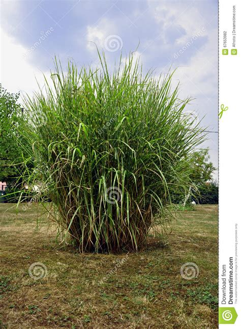 Garten Busch by Gro 223 Er Busch Im Garten Stockfoto Bild 67653982