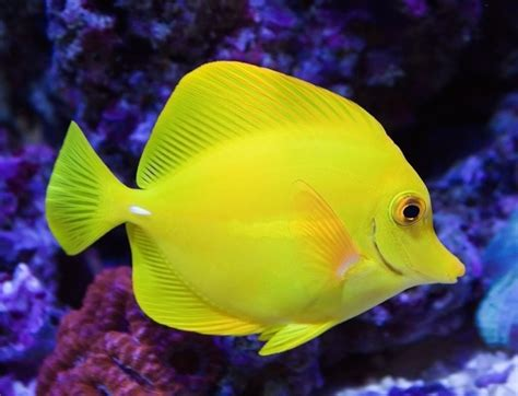 yellow tang compatibility images