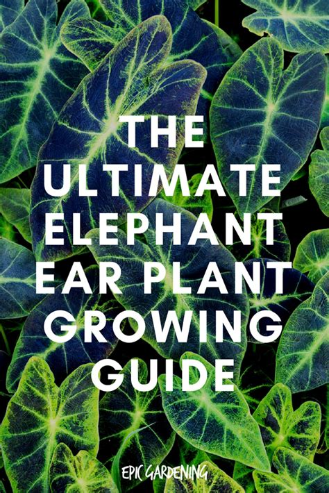 elephant ear plant care types and tips