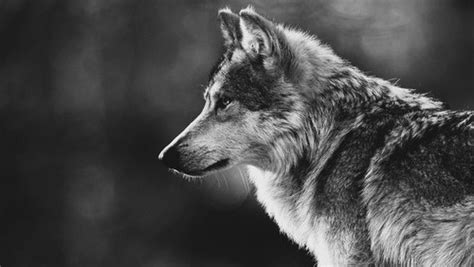 imagenes tumblr lobos animal leon tumblr