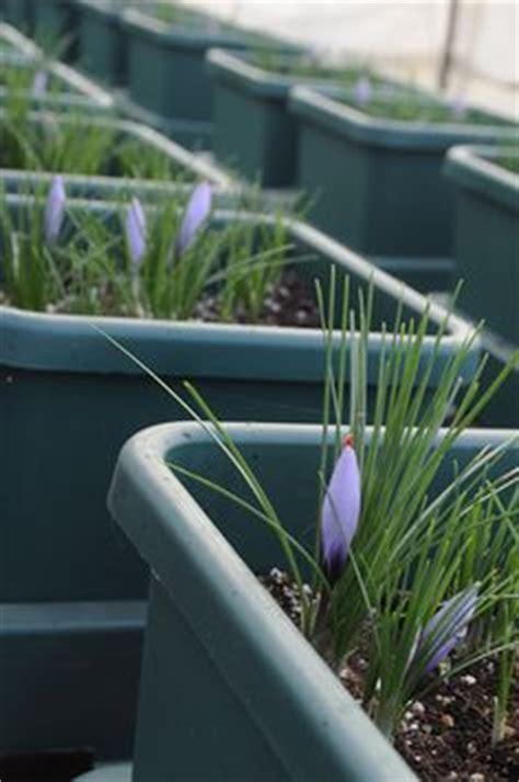 saffron autopot hydroponics pinterest hydroponics