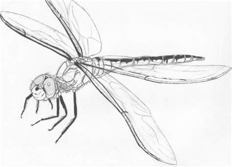 dragonfly sketch by ashtardragonfire deviantart com