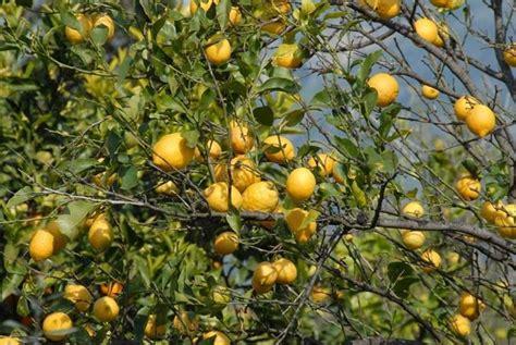 potare limoni in vaso potare limoni alberi da frutto come potare i limoni