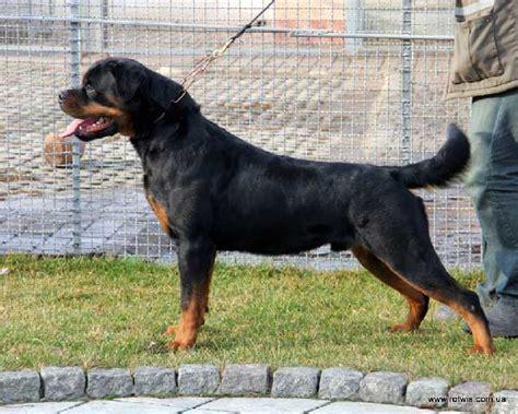 house rotvis rottweiler kennel ukraine