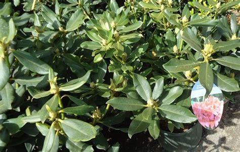 cura delle azalee in vaso azalea cura piante da giardino come curare l azalea