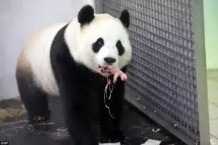 Baby Panda One hao hao the panda gives birth at paira daiza zoo in