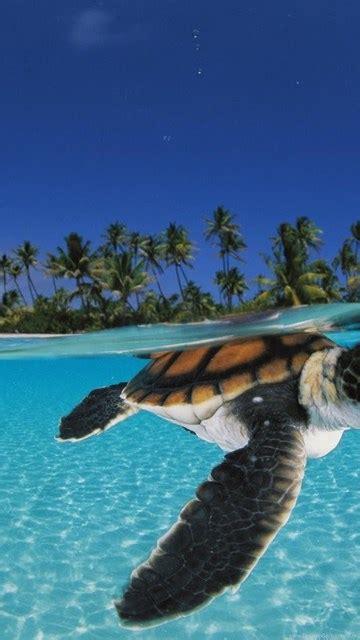 baby sea turtles swimming desktop background