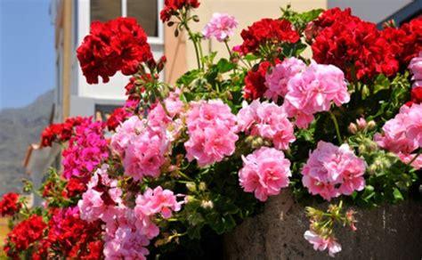 fiori primaverili da vaso piante da balcone piante e fiori per un balcone perfetto