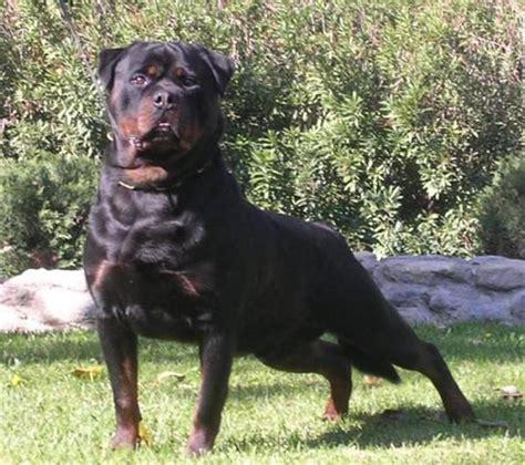 buy german rottweiler best 25 german rottweiler ideas on rottweiler rottweiler puppies and