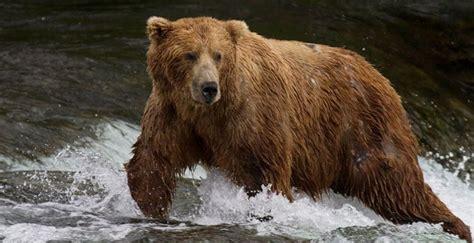 oso pardo oso pardo image gallery oso pardo