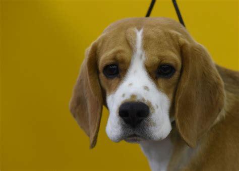 westminster show beagle westminster show