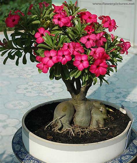 wallpaper bunga adenium pictures of flowers adenium