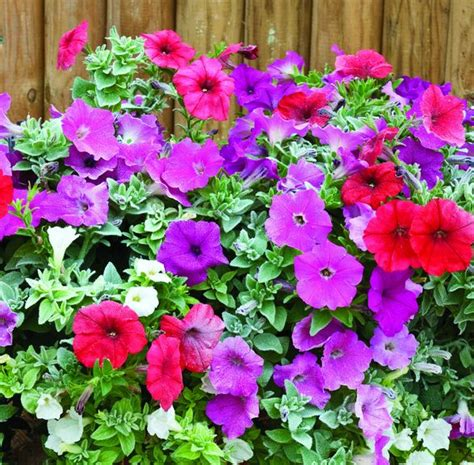 all about plants and planters hardy petunias