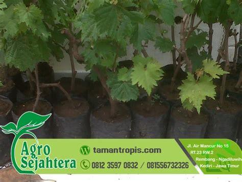 Jual Bibit Anggur Di Probolinggo jual bibit pohon anggur harga grosir