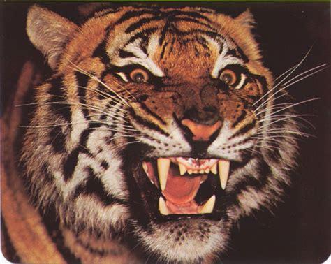 imagenes de rostros impactantes tigre se come un cerdo imagenes impactantes retube