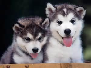 Husky puppies husky wallpaper