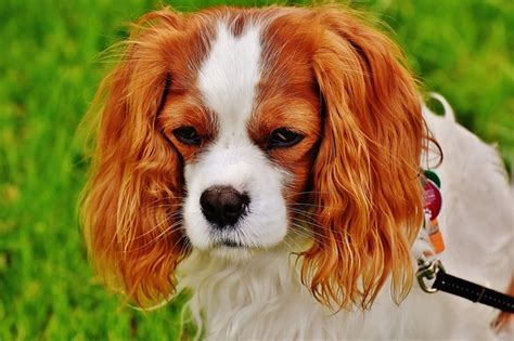 dogs pics list of dogs with hair not fur for with allergies