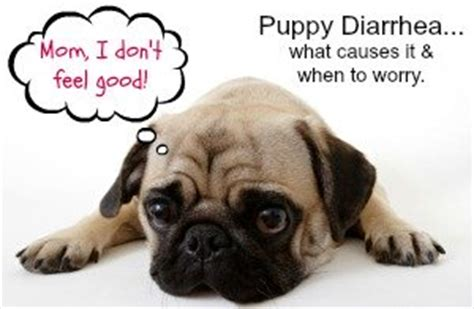 pug puppy has diarrhea puppy diarrhea causes treatment prevention