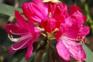 rhododendron arboreum landscape architect s pages