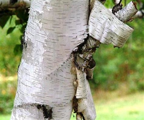 betula papyrifera health effects  herbal facts