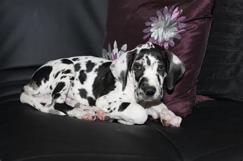 colors of great danes 8 different great dane colors and patterns with amazing