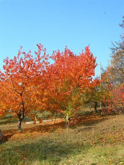 autumn cherry tree autumn crafts picture