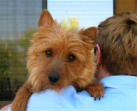 australian terrier puppies for sale puppies for sale papillon breeder in arizona papillon puppies breeds picture