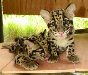 Leopard information facts habitat adaptations baby pictures