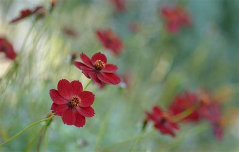Wallpaper Dinding Bunga Cosmo 814 1 wallpaper chocolate cosmos raspberry chocolate botanical garden flowers cosmos images for