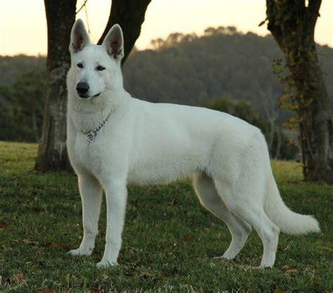 white swiss shepherd puppies white swiss shepherd white shepherds