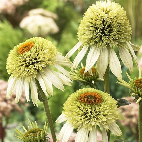 buy coneflower echinacea purpurea coconut lime pbr