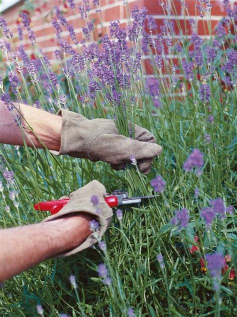 create and care for a lavender hedge hgtv