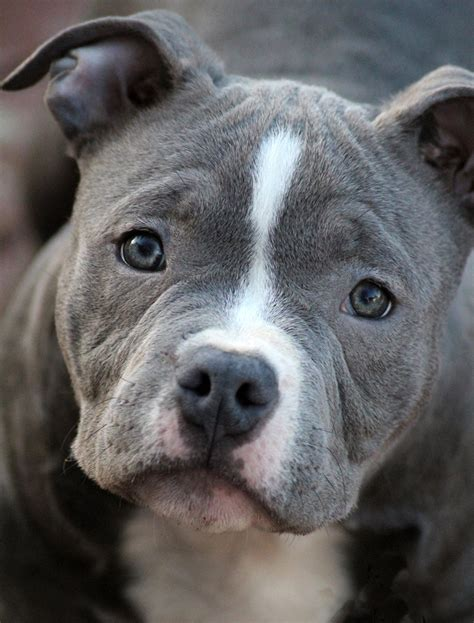 puppies and more 5 popular different types of pitbulls breeds with pictures health care and pit bull